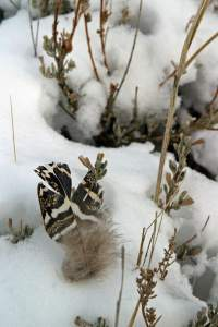 8413aa-Sage-Grouse-Feather-130415web