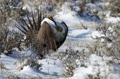 9859aa-Sage-Grouse-130416web