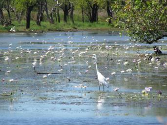 Eastern Great Egret.